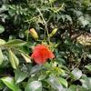 ノウゼンカズラが咲いてた