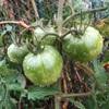 """畑からこんにちは! 1017   """" 雨でも元気な野菜たち☝️😃 """"  #家庭菜園 #野菜 #初心者でも楽しめる"""