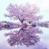 安曇野ちひろ美術館の桜2018