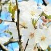 3月27日は「桜の日」それでもって桜三昧🌸