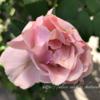 【庭】バラの冬作業