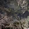 🌃夜の谷中霊園 桜並木🌸Z 6IIのピクチャーコントロールで遊びました☺