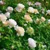来年のバラの色が鮮やかになる、バラ好きにオススメ肥料