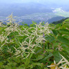 白馬三高原ツアー 〜高山植物 : 白い花〜