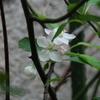 2013/04/16 リンゴの花がたくさん開花