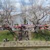 【行った】岐阜県各務原市 新境川堤の桜の見どころ、アクセス、駐車場情報なども