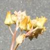 多肉植物の花9