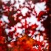 京都・御室 - 仁和寺の紅葉