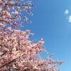 桜が満開。お花見日和の日曜日です