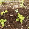 家庭菜園 ~しそ・バジル・ローズマリーの様子~