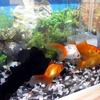 金魚の新居引っ越し