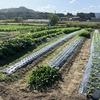 今日は、玉ねぎとキャベツとほうれん草の定植