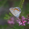 7/6/2019・信州の蝶あそび ~ 午後はミヤマシジミにあそびました