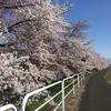 自転車で花見