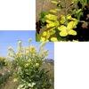 """Brassica Oleate(語源から直訳すれば """"栽培種キャベツ類""""?);キャベツ・ケール・ブロッコリー・カリフラワー・コールラビ・芽キャベツ.紫キャベツなどは,表現型の様々な特質を人為的に選択することを通して,ほんの二三千年の間に出現したとされています.また,アブラナ属 Brassica の様々な種も,互いに混ざり合った結果出現したようです."""
