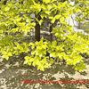 萌黄色の季節・梅の実と桜の実