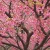 伊豆で桜に出会う旅。