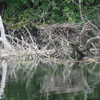 【見つけた図鑑◉野鳥】カワセミ2