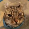 衝撃の検査結果 そして再び目の縫合手術をした猫