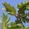 コウカンチョウ(Red-crested Cardinal)