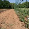 夏野菜の定植と発芽。
