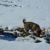 パピー保護犬、吉喜を譲渡した後の3匹での散歩