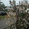 ぴったしカンカン秋田市の桜