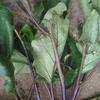 なす褐色腐敗病と葉物には農薬使いません