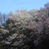 やっぱり今は桜かな