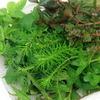 (水草 熱帯魚)おまかせ水上葉 レイアウトセット 60cm水槽用 8種(無農薬)(1パック)(水草説明書付) 基本送料無料