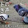 カワラバトの鳴き声【野鳥図鑑・鳴き声図鑑】Columba livia Rock pigeon