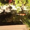 管理上手な池の鯉