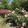 「マダム倶楽部」活動報告 池に白い花が咲く睡蓮の季節がやって来た♪ 5月10日