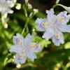 「佐久の季節便り」、花壇の「アイリス」たちが、賑やかに…。