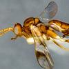 【イチロー選手が新種のハチに!?】カナダの研究者の粋な計らい