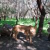 モーリシャスユニークな体験、ライオンと一緒に歩く痛快な散歩!