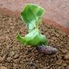 ロウバイの発芽 秋に種まき Germination of Roubai Sowing the seeds in the fall