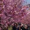 早咲きの河津桜が見頃宣言!!全国の開花予想は3月下旬から。開花時期を自分で計算してみよう!!