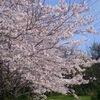 3-358   今年の桜もキレイです!!