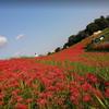 矢勝川の彼岸花を見に行ってきました(阿久比町・半田市)
