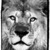【ライオン】