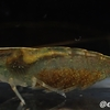 オオバヌマエビ Caridina macrodentata