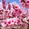 茶道のお稽古に役立つ かわいい「桃」にまつわる禅の言葉(禅語)