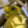 🦜野鳥の回【142】🆕87種類目「アオバト(緑鳩」他