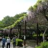 藤まつり中止となった蓮華寺池公園に藤を見に行く。