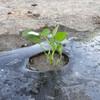 ジャンボ落花生(おおまさり)の植え付け