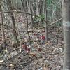 ツチトリモチ   冬の森の中、これな~に?