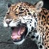 「ジャガー!」の巻