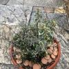 しまった!ヘミジギアピンクサファイヤの寄せ植えについての昨日のブログを意味なく消去!55歳のババァが動揺して再現したブログ