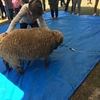 【愛媛観光】羊大好き ❤️ 毛刈り大会【モフモフ】